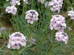 A sulyoktáska egy ideális sziklakerti növény